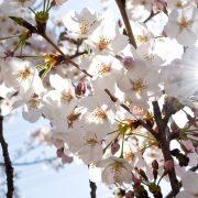 桜と日差し